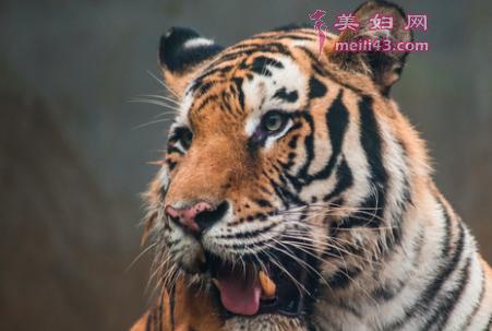 老虎的斑纹故事